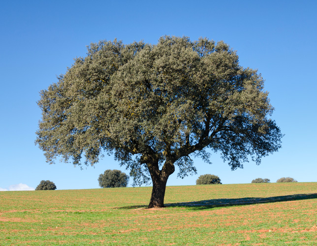 An example of tree planted in the middle of the field, after tree crowning services.